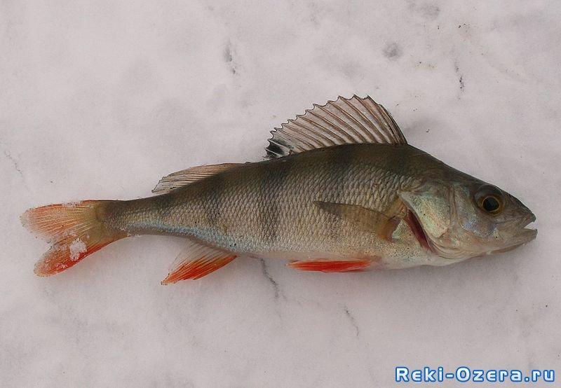 рыба толстолобик где водится