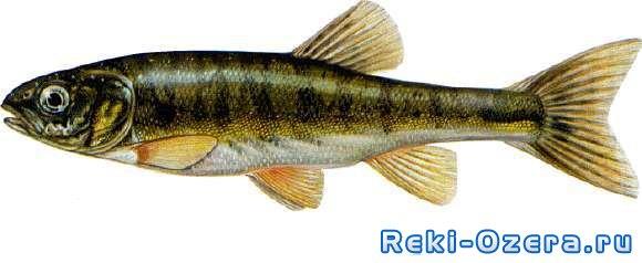 гольян рыба фото