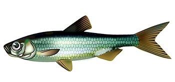 рыба толстолобик размеры вес