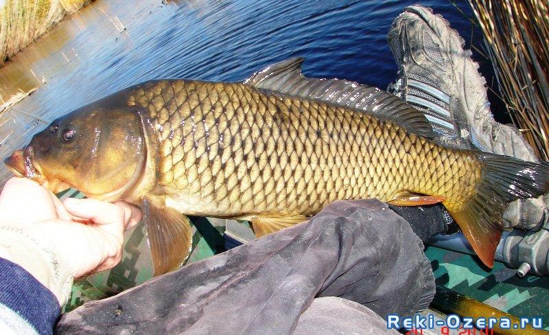 Осенние трофеи. Какую рыбу можно ...: reki-ozera.ru/stats_news/109394-osennie-trofei-2010-2011.html
