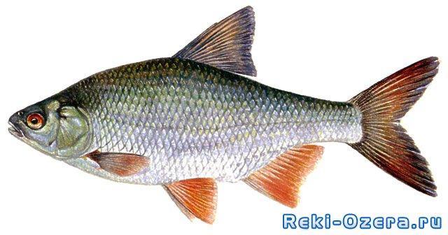 плотва фото рыба
