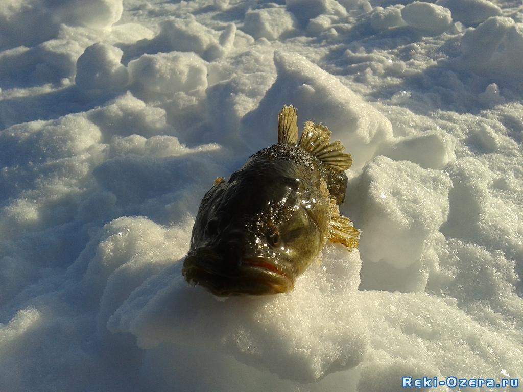 на что клюет рыба подуст