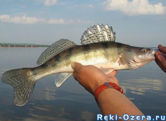 рыба толстолобик какая и что приготовить